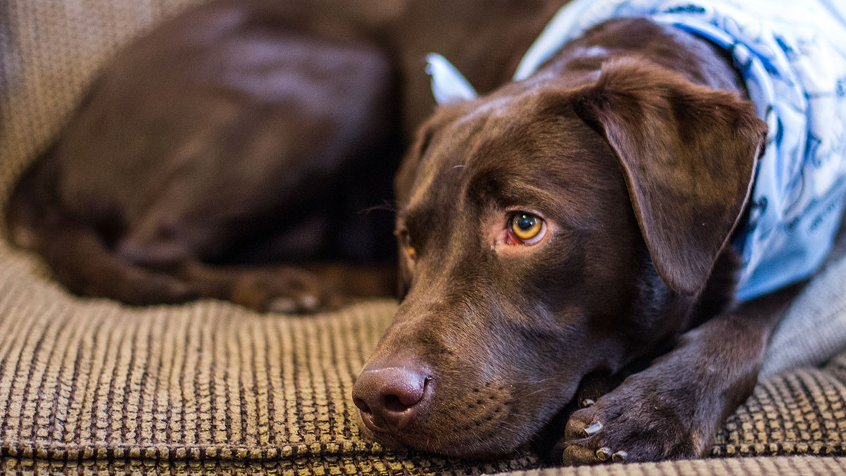 How To Keep Your Dog Off The Couch The Labrador Site