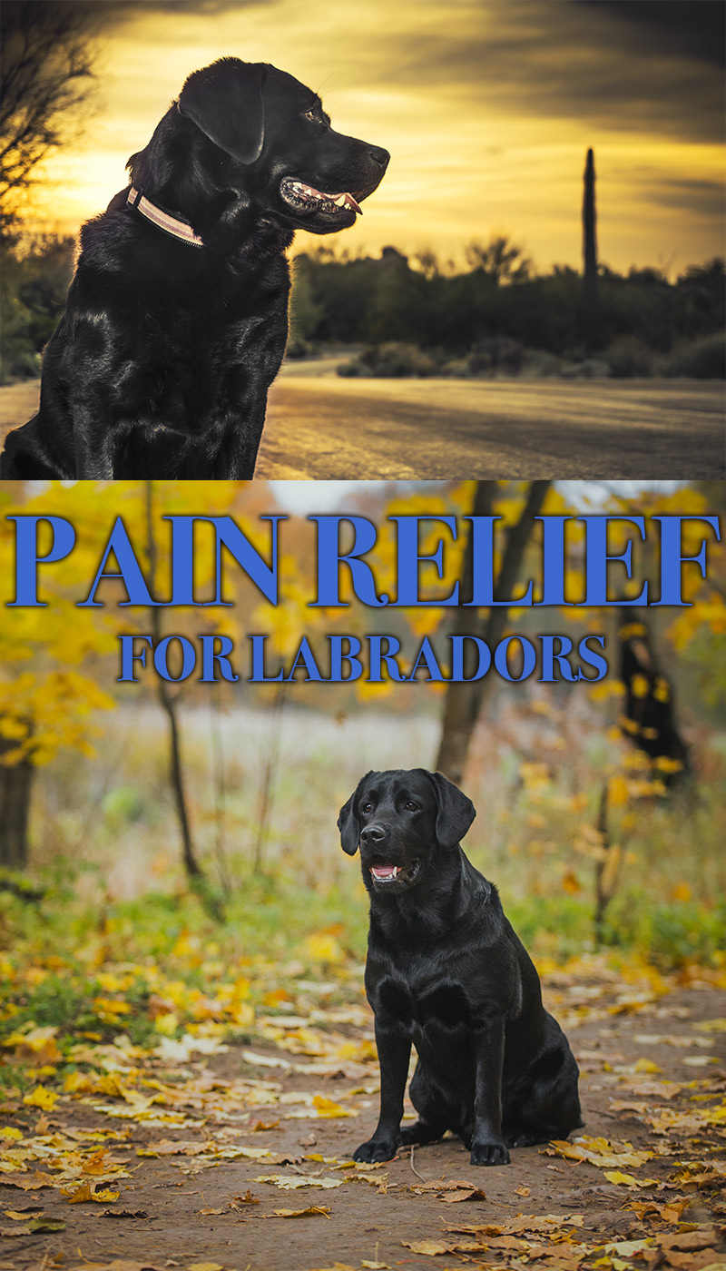 Can I Give My Dog Paracetamol >> Pain Relief For Dogs The Labrador Site