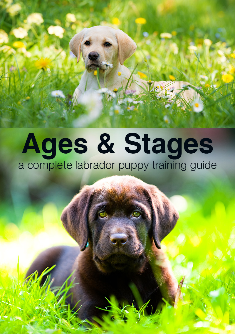 Puppy Training Schedule: Ages and Stages in Labrador Puppy ...