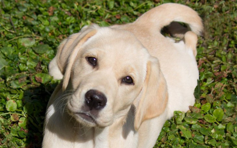 Goldador Guide Dog puppy, with thanks to puppy walker Mags for the gorgeous photo.