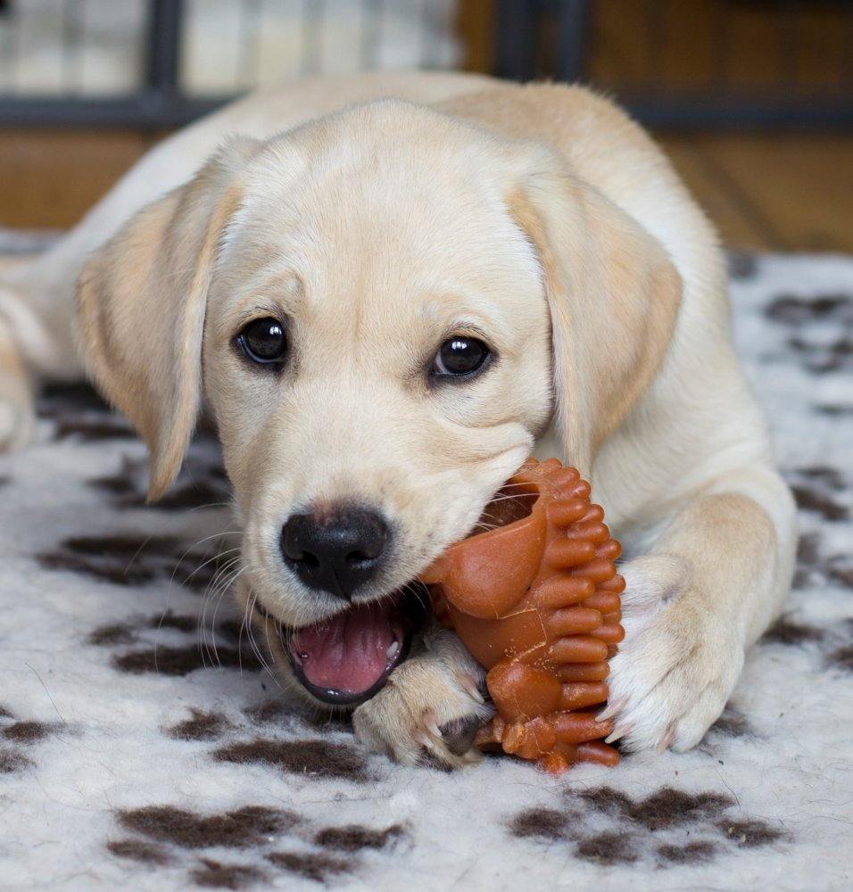 Yellow lab mix puppy