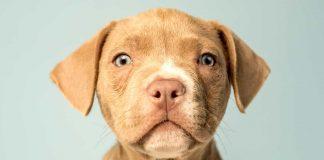 Lab Terrier Mix