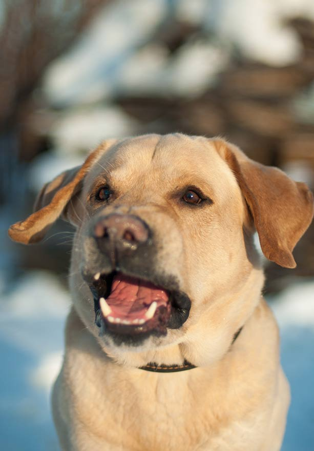 Why does my dog bark so much - barking yellow labrador