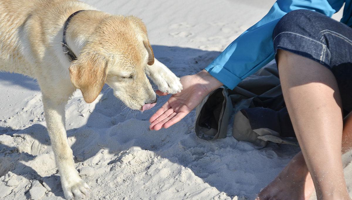 ... top dog training tips to help you improve your Labrador's behavior