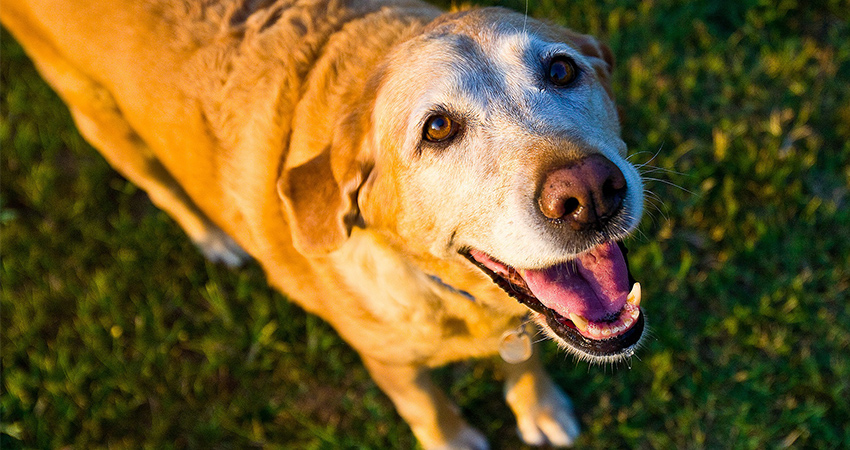 old yellow lab
