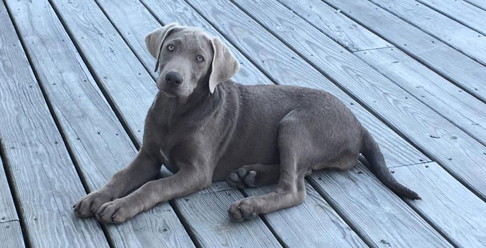 Beautiful Silver Lab Phoebe