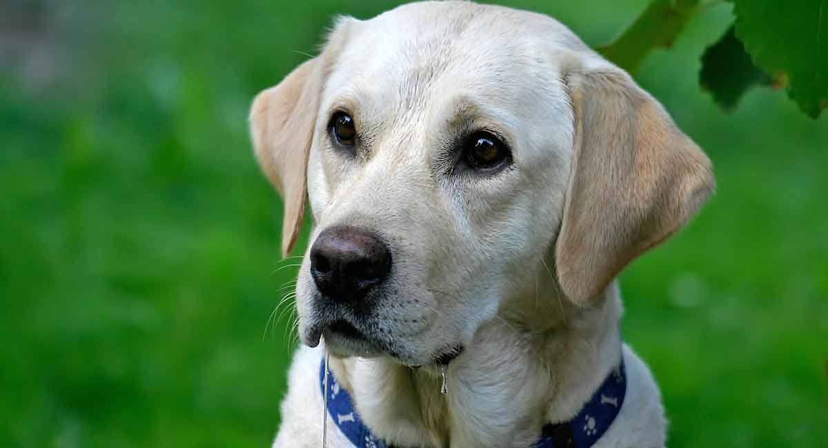 Dog Drooling: Why Do Dogs Drool And What To Do About It