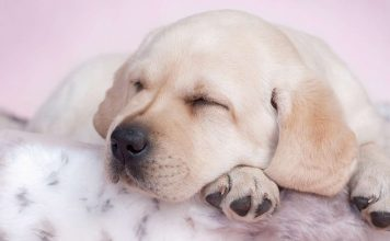 best beds for labs