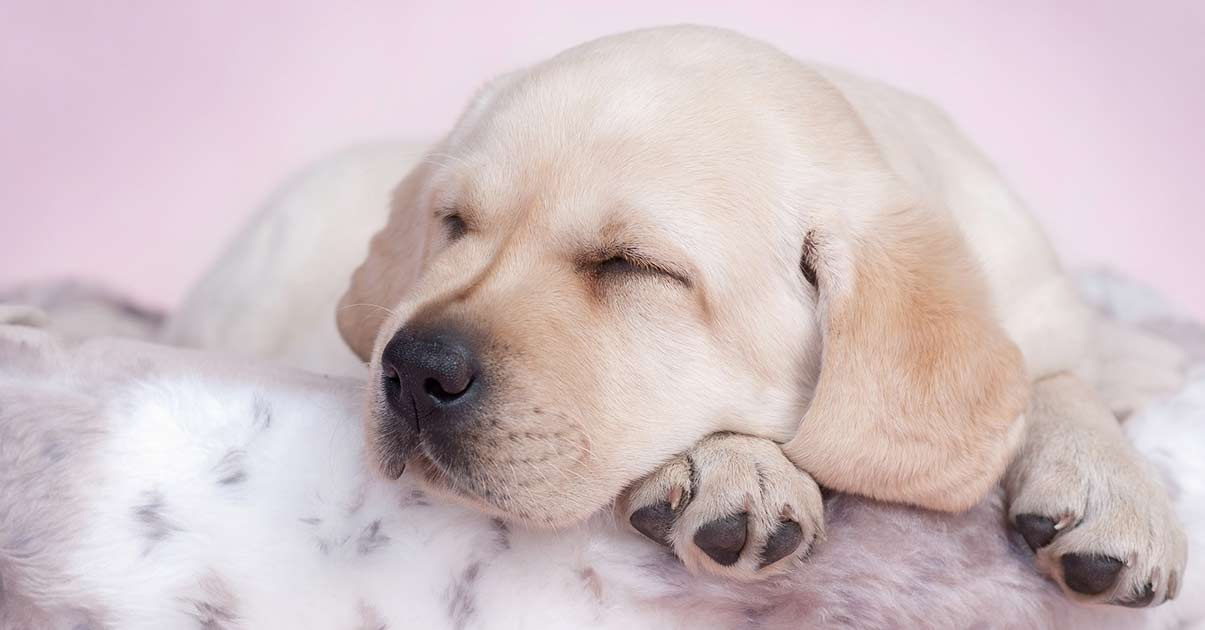 Picture of: Best Dog Beds For Labs