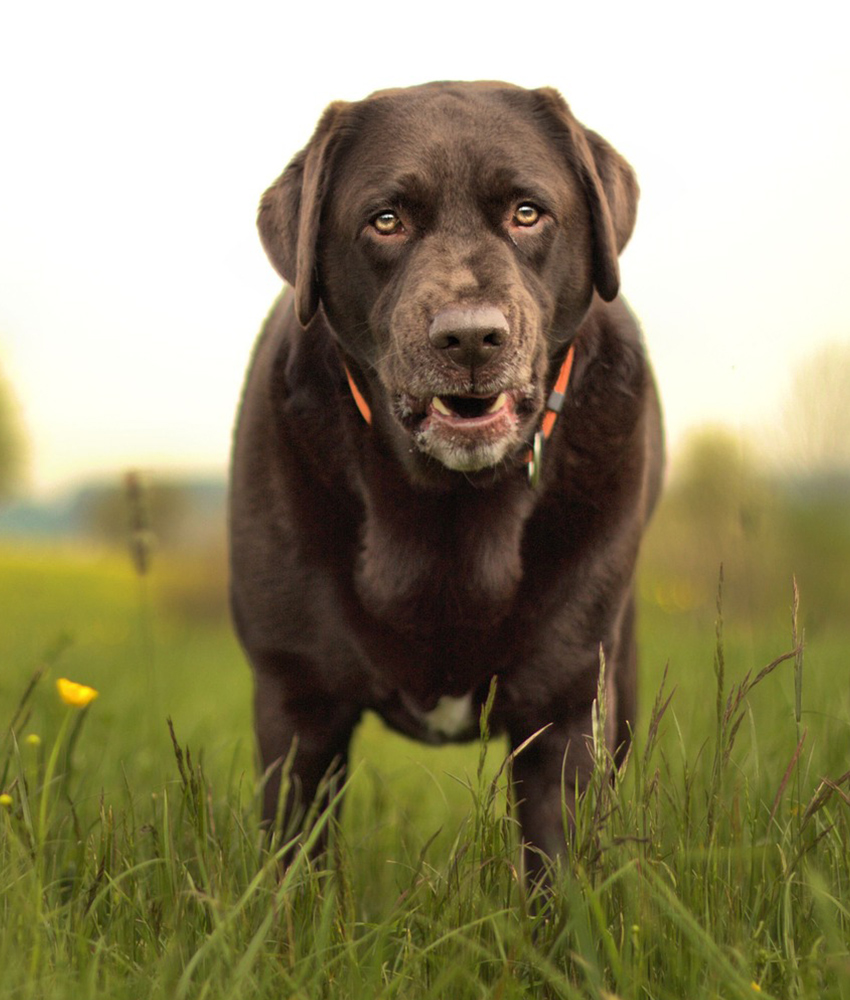 old chocolate lab
