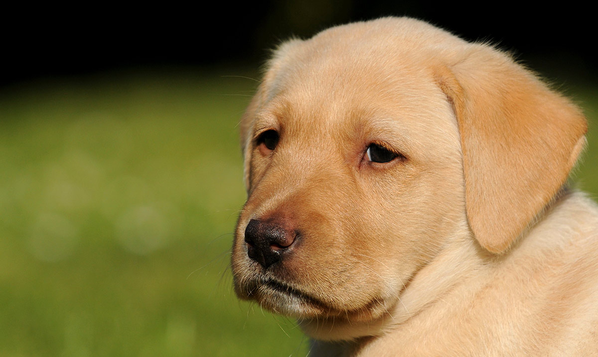 When Can Puppies Leave Their Mother The Labrador Site - 15 dogs werent expecting come back home early