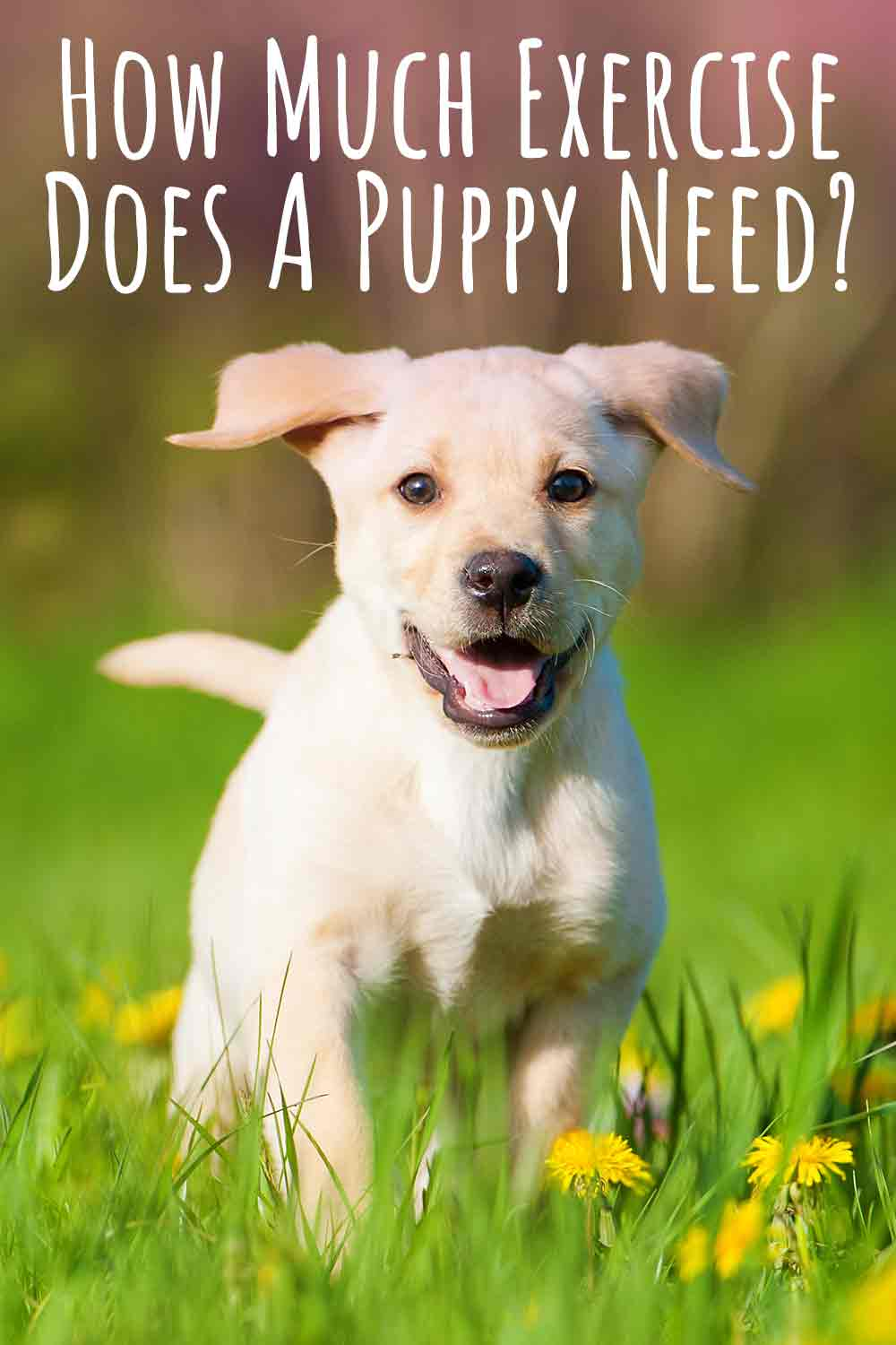 Labrador Puppy Exercise- How Much Does A Puppy Need__