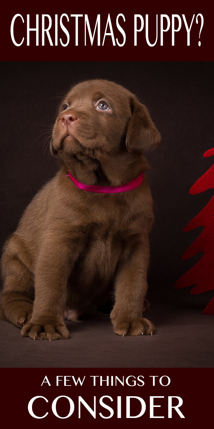 A Labrador Puppy For Christmas Is A Christmas Puppy Right For You