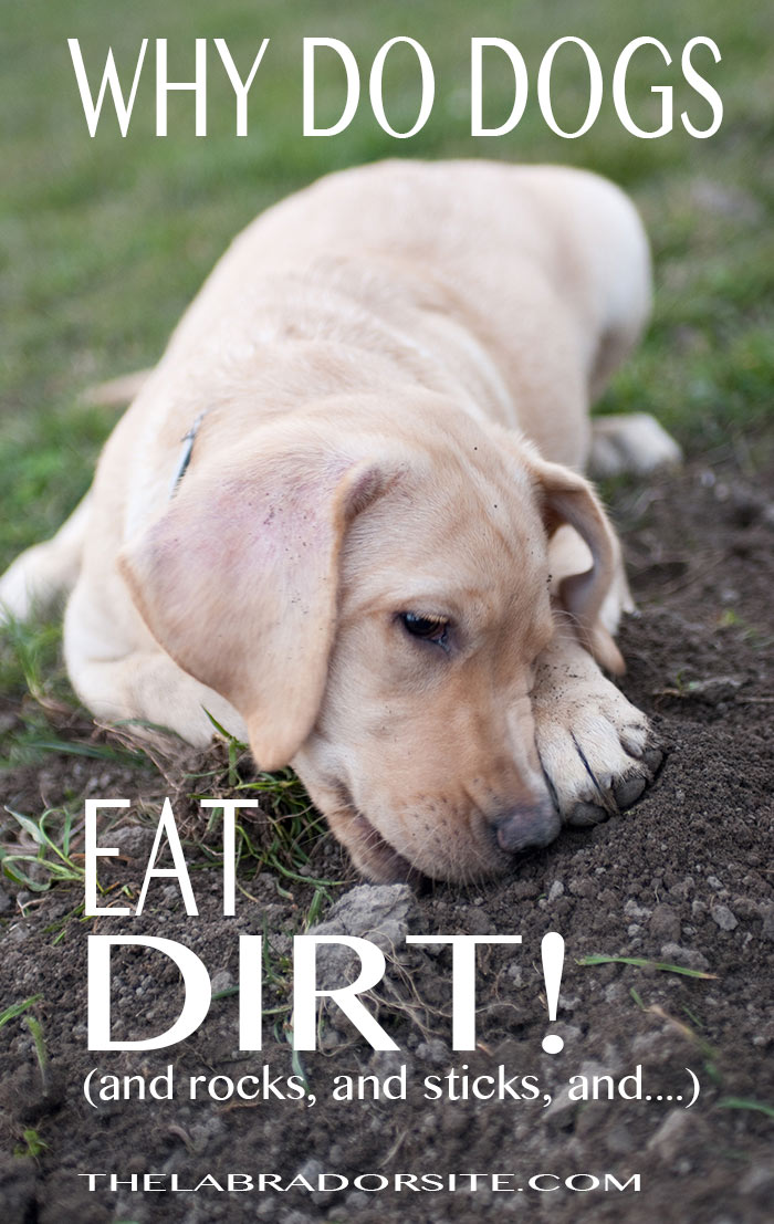 Why do dogs eat dirt, and stones, and stick, and mud? Find out all about crazy canine eating habits here!