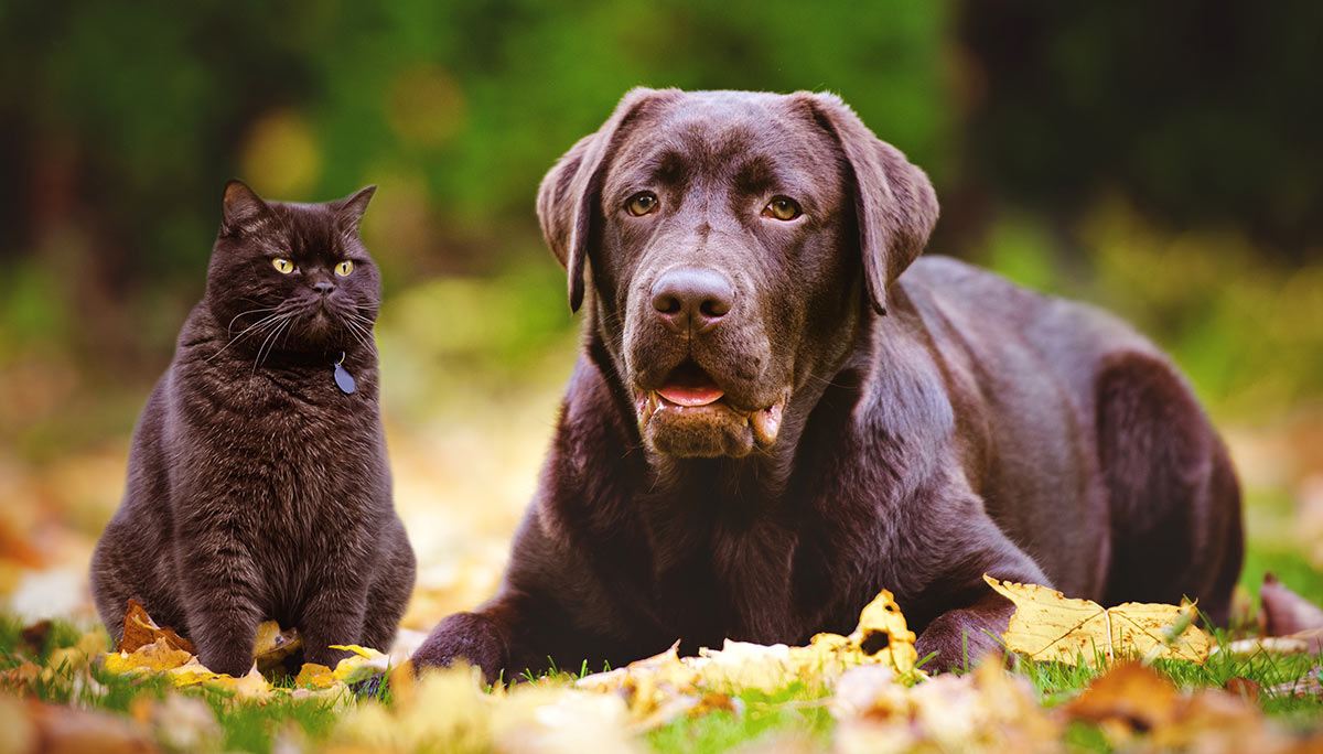 An English Lab can make a great family pet