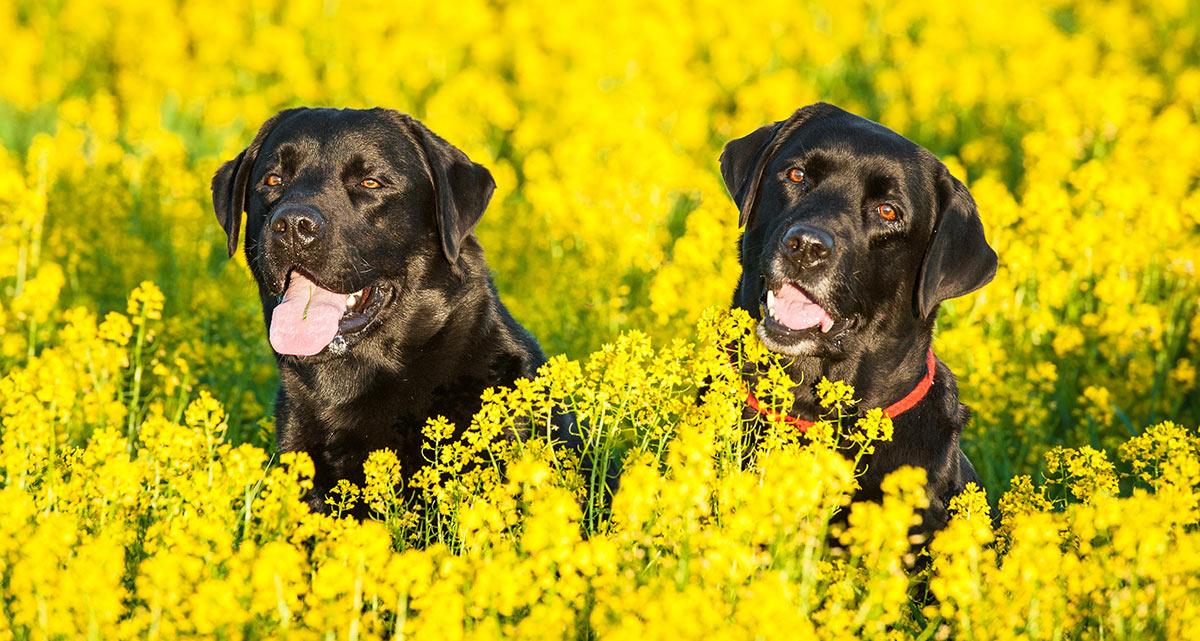 Two gorgeous English Labrador dogs in a field.