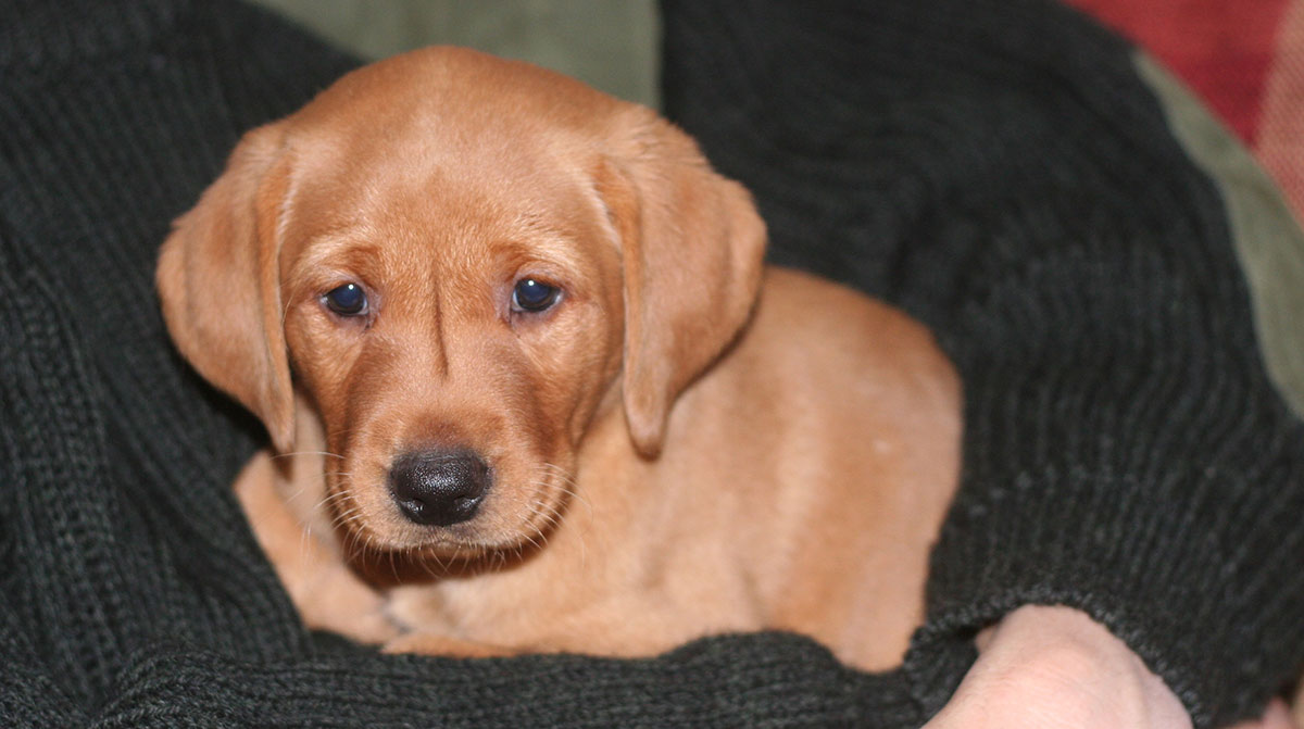 Fox red Lab puppy at six weeks old