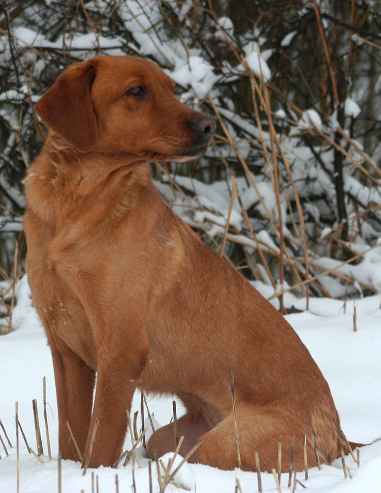 Fox red lab in the snow
