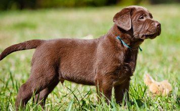 Miniature Labrador