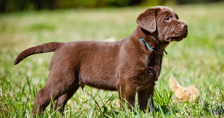 Miniature Labrador Small Size And Dwarfism In Labs