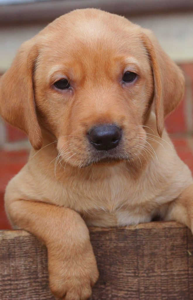 Six week old Labrador Puppy and a great week by week puppy development guide