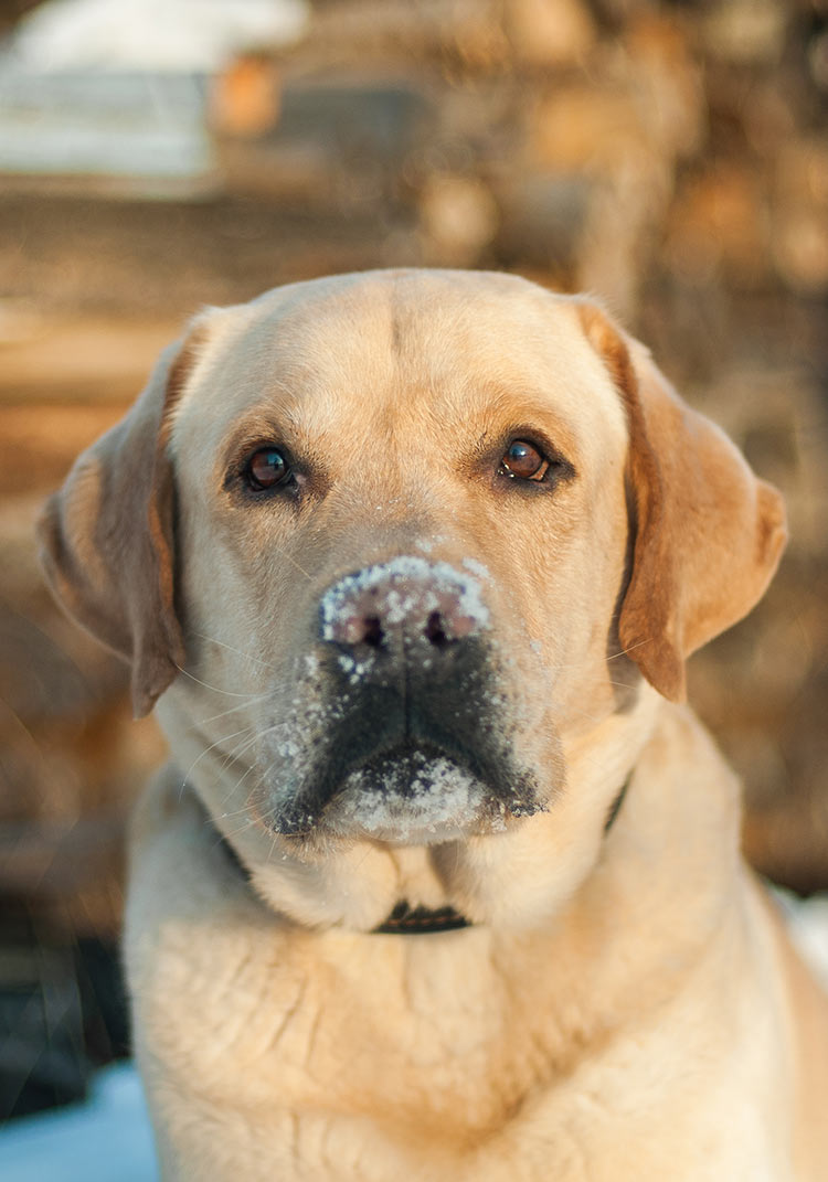 How much should my labrador weigh english lab weight vs american lab weight nvjuhfo Images