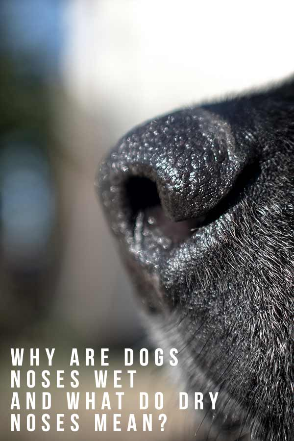 Why are dogs noses wet