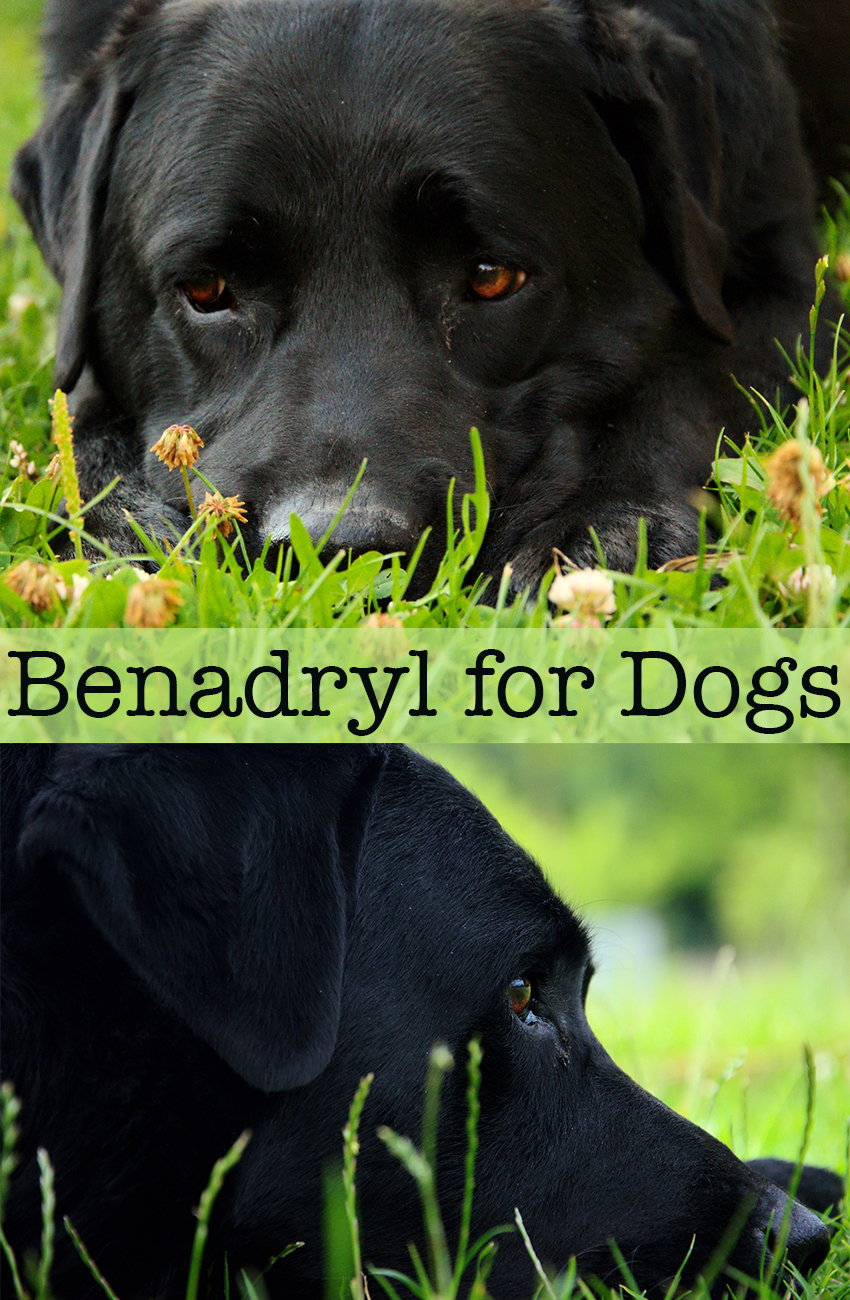 Benadryl For Dogs - Is it safe? How much to give? Your questions answered