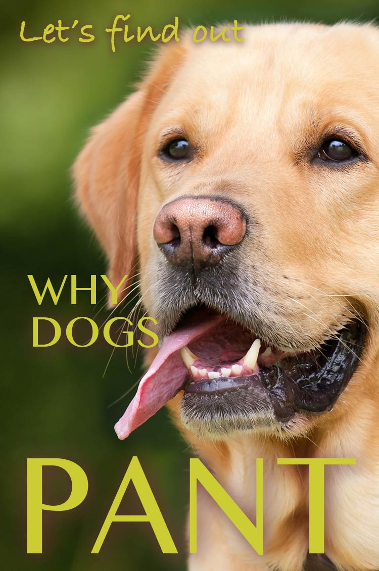 Dog panting investigated. Discover why dogs pant in this fascinating article