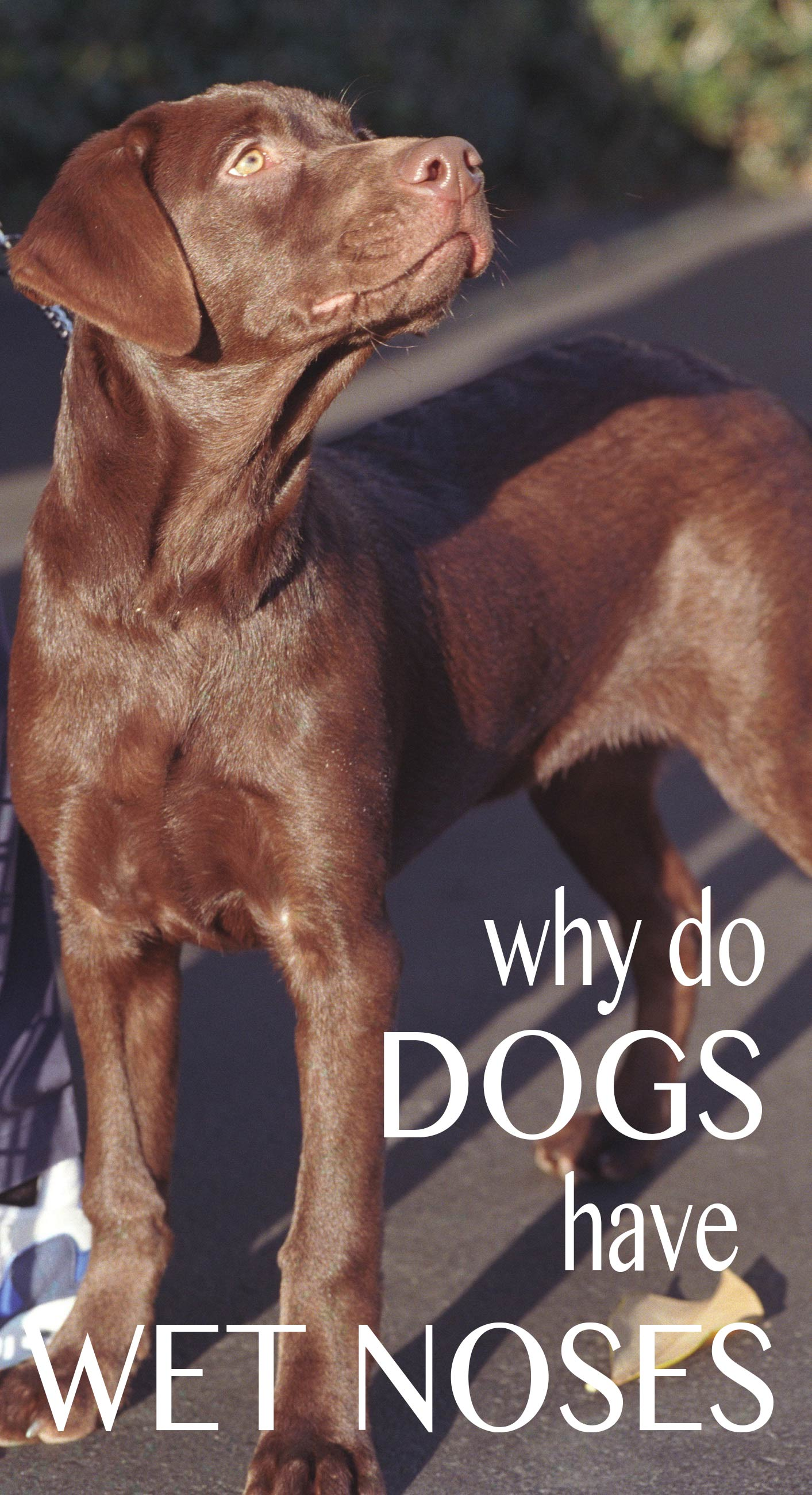 Why do dogs have wet noses, or dry noses and what the state of your dog's nose tells you about his health