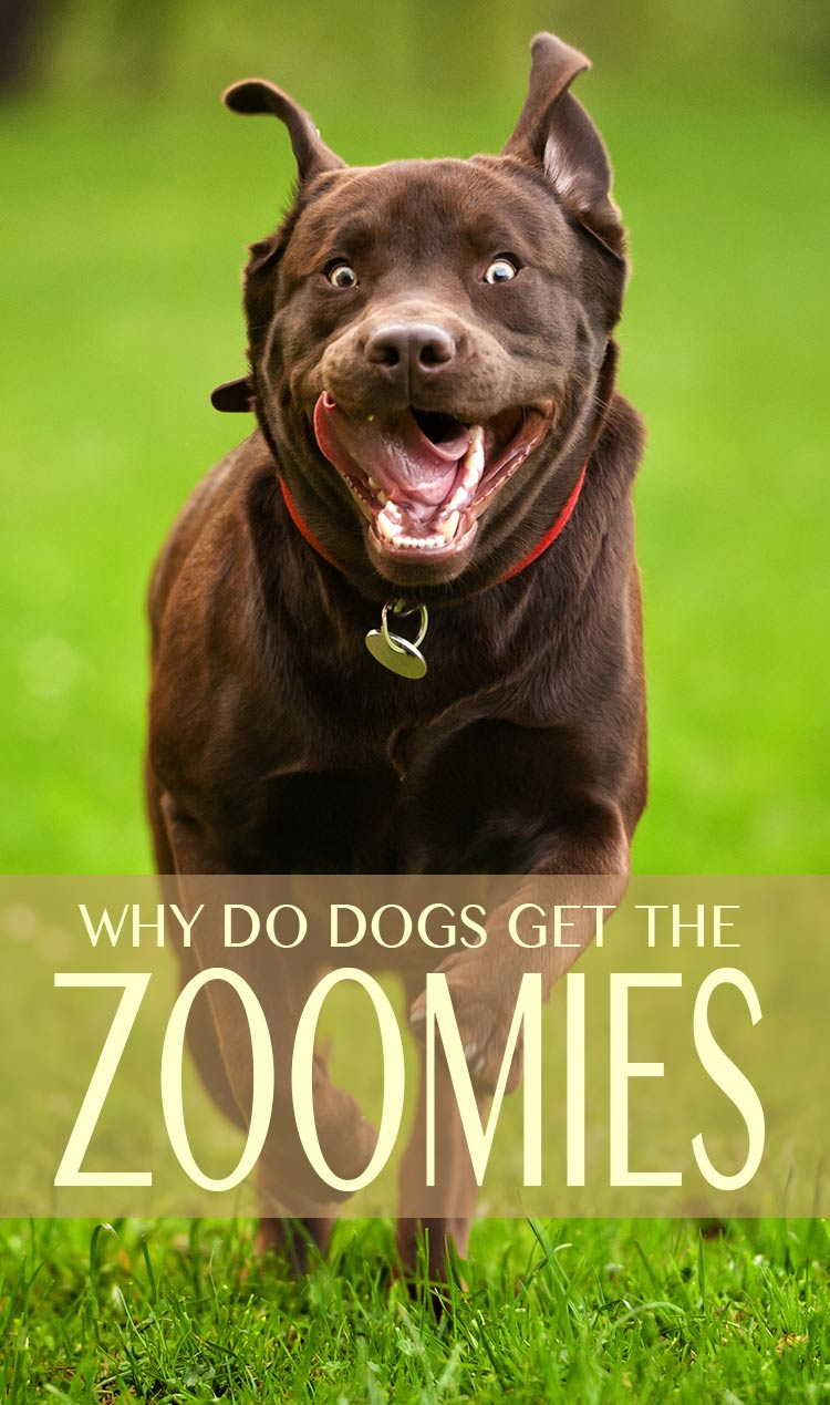 Dog Zoomies Why Do Dogs Run Around Like Crazy - 28 times letting your dog play in the mud wasnt a good idea