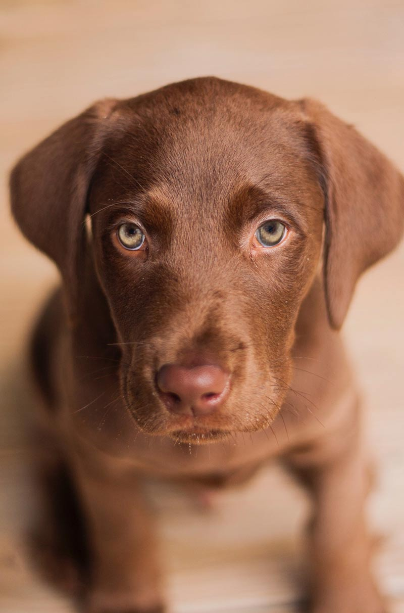 Dog hiccups are more common in puppies