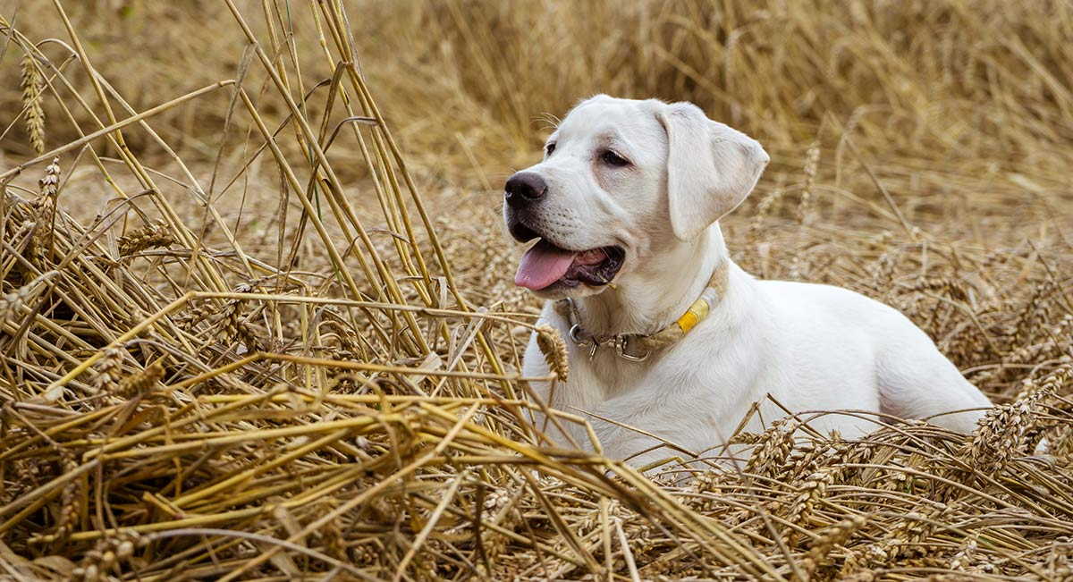 can dogs safely take carisoprodol side effects