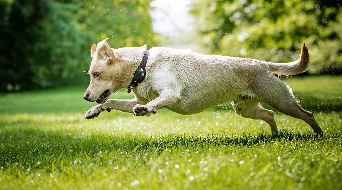 Terrific Dog Zoomies Why Do Dogs Run Around Like Crazy Bralicious Painted Fabric Chair Ideas Braliciousco