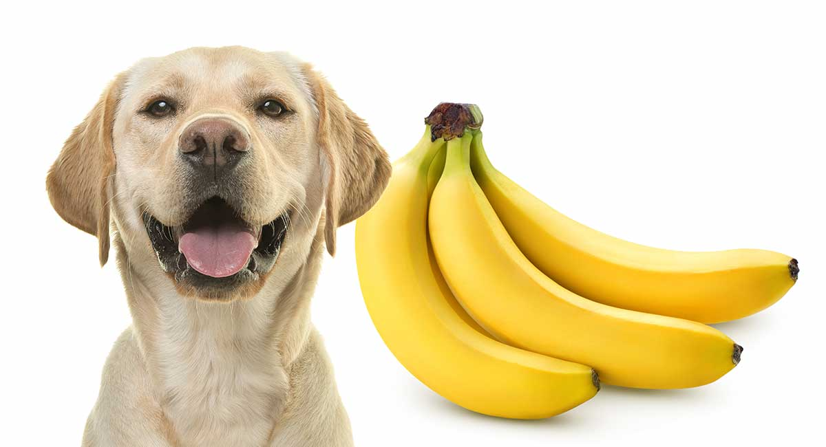 Can Dogs  Eat Banana