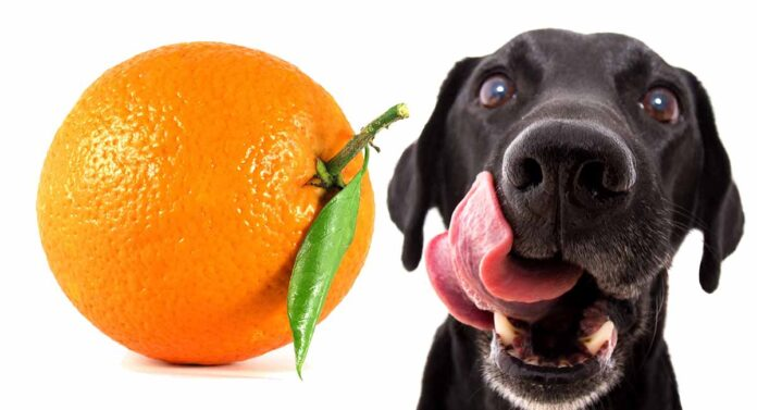 Can Dogs Eat Oranges - Are Oranges Good For Dogs?
