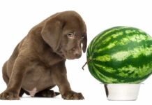 can dogs eat watermelons