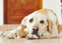 Temaril P For Dogs - A Complete Guide To Your Dog's Prescribed Drug