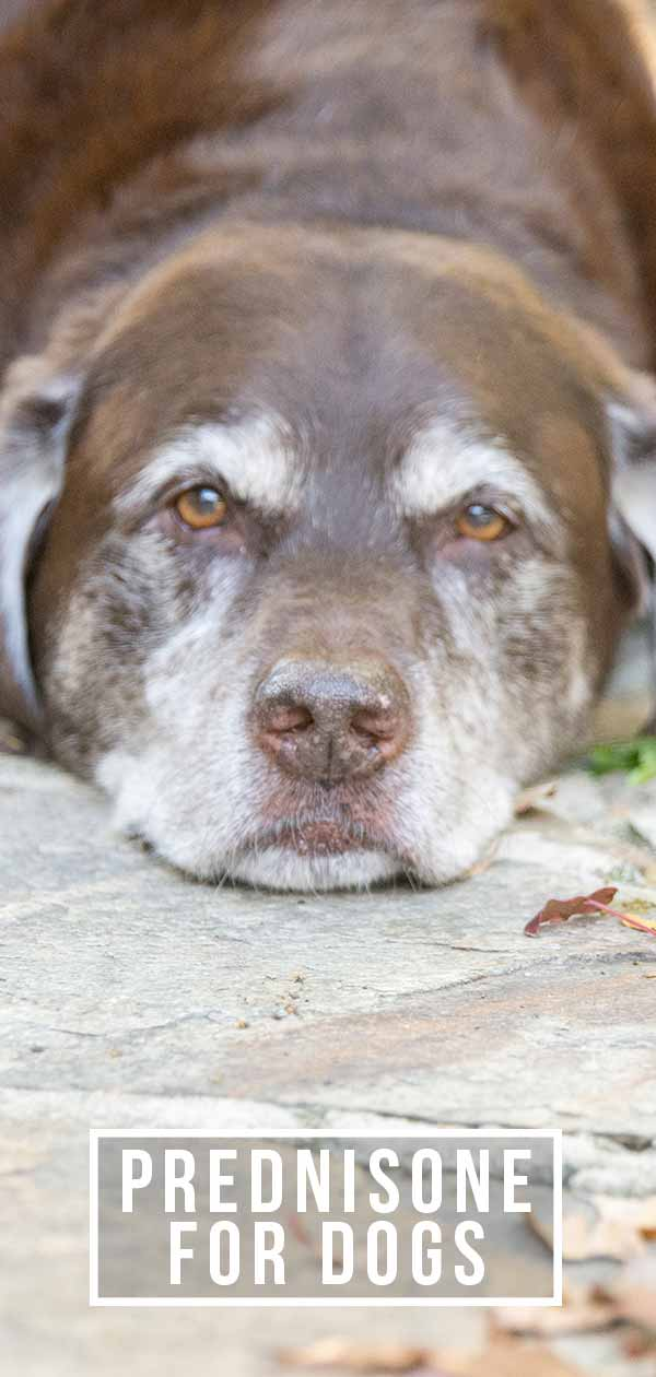 prednisone for dogs