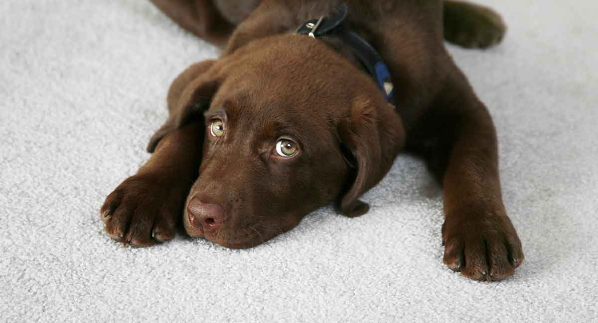 Puppy Worms - Symptoms and How to Get Rid of Worms in Puppies