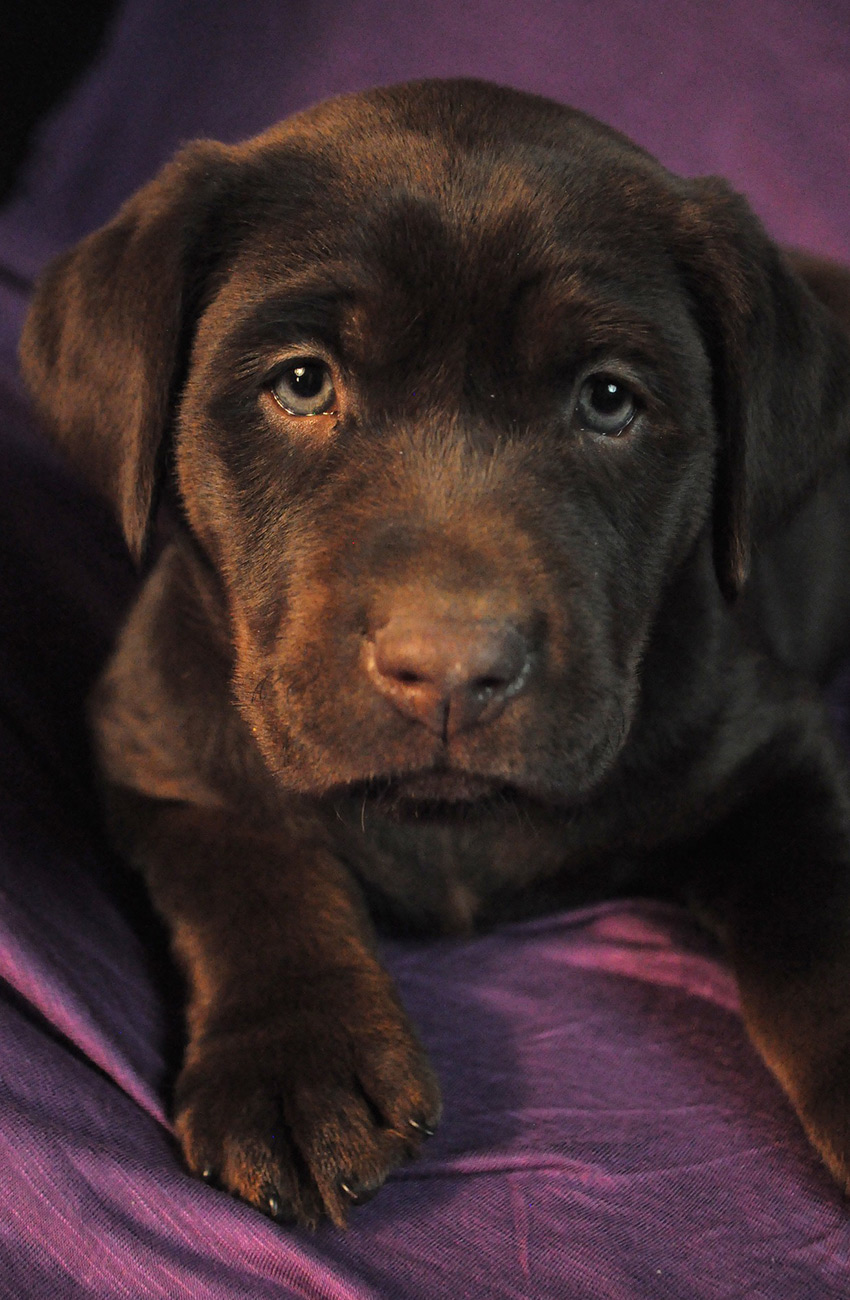 Cephalexin For Dogs A Pet Owner S Guide By The Labrador Site