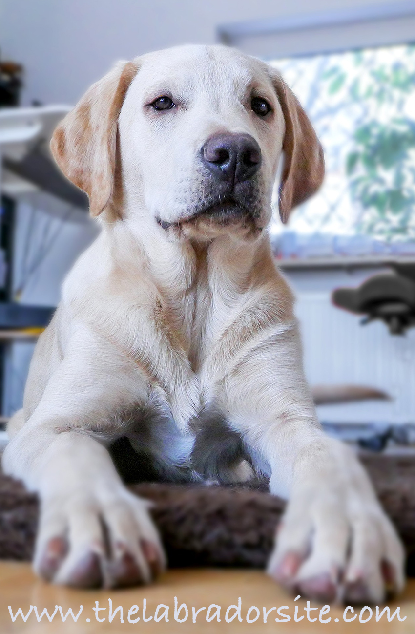 Deafness In Dogs. How To Tell If Your Labrador Is Deaf