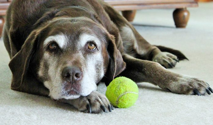 Deafness in dogs can affect many old dogs