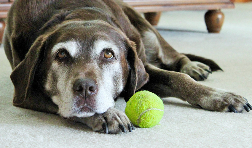 Deafness In Dogs - The Labrador Site