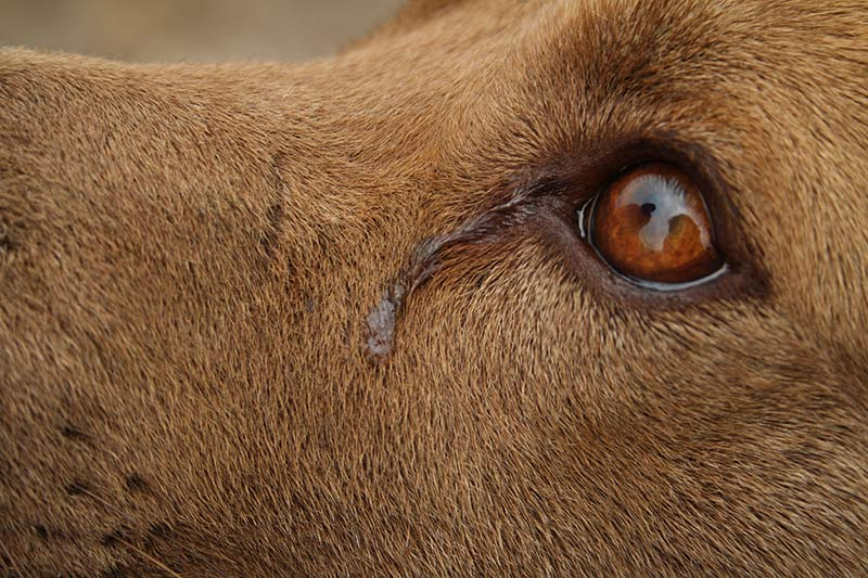 Do dogs have tear ducts? Yes they do, and dogs can make tears to wash out their eyes