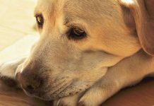 This Labrador looks sad, but do dogs cry like people do?
