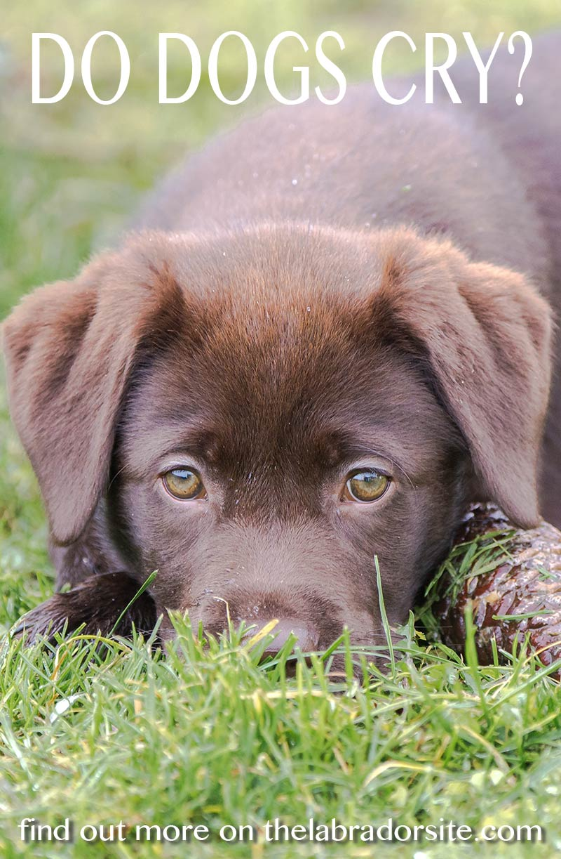 Do dogs cry real tears - find out on The Labrador Site