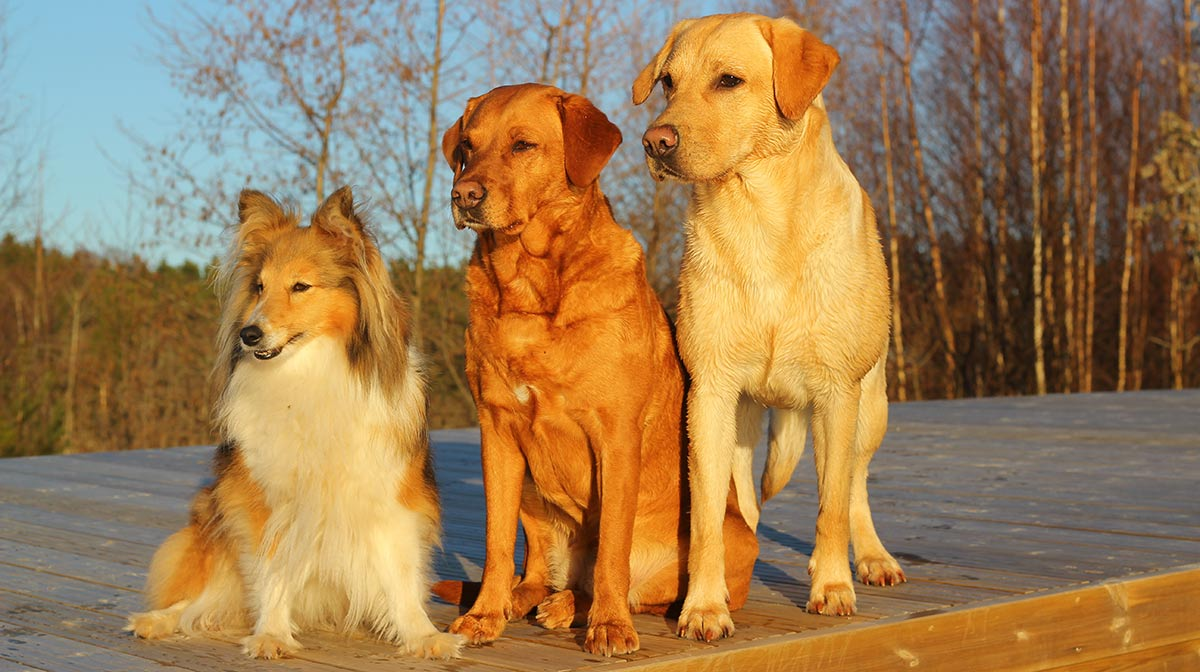 Alpha Dog - The Important Facts About Dog Dominance and Pack