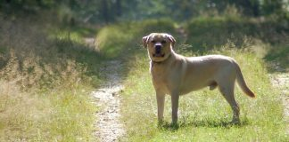 Fipronil for dogs - find out if fipronil is okay for your Lab