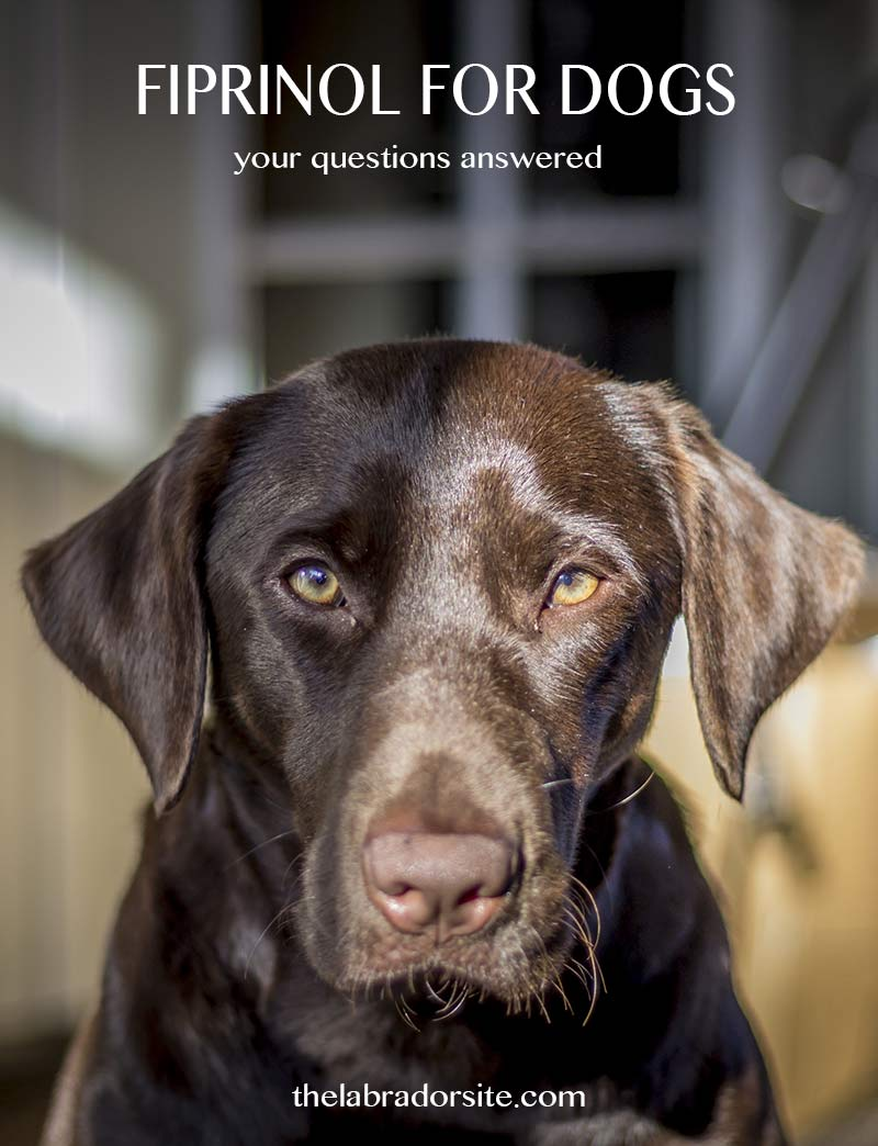 Fipronil For Dogs Your Questions Answered The Labrador